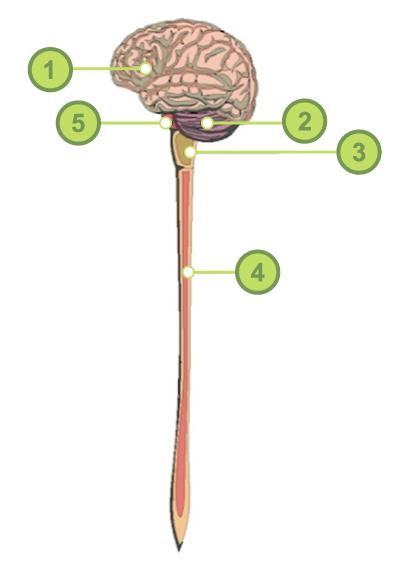 Sistema Nervioso Central Y Sistema Nervioso Periférico Unidad De Apoyo Para El Aprendizaje